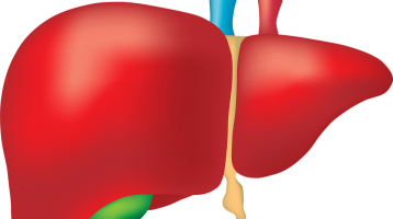 Anatomical image of a liver and gallbladder